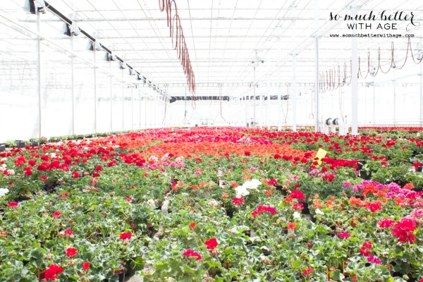 Multiple rows of multi coloured flower bushes in greenhouse.