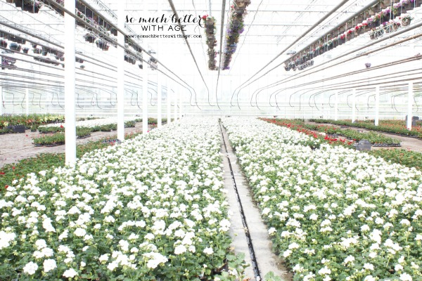 Multiple rows of white flowers in greenhouse.
