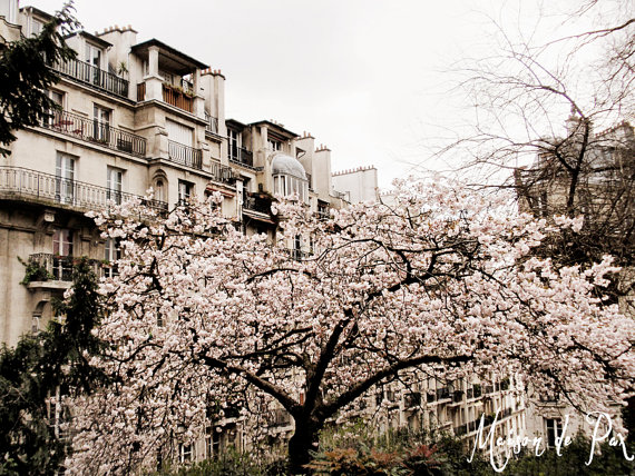 Old French building with cherry blossoms in front of it print.