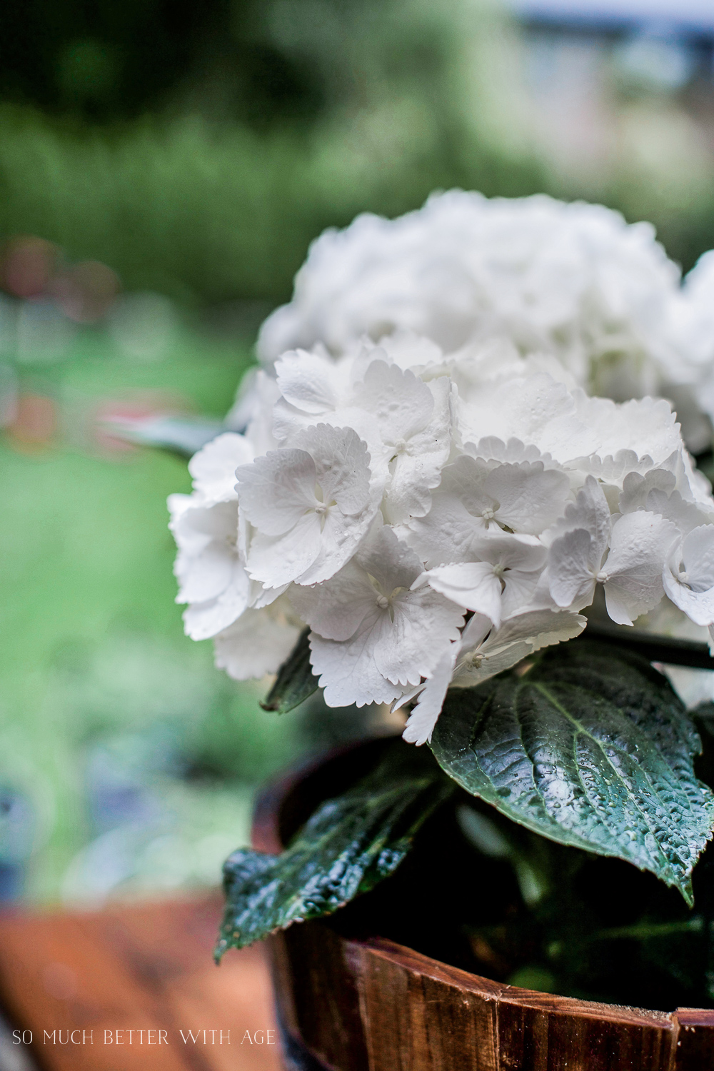 White Hydrangeas / The Best Tip for Filling Large Outdoor Planters - So Much Better With Age