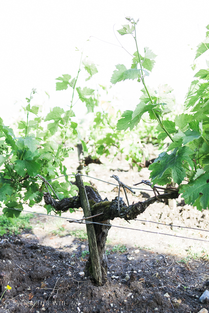 Why You Must Visit Bordeaux/how vineyards are pruned in France - So Much Better With Age