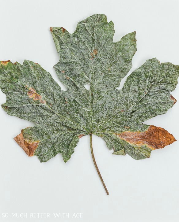 Large green dried maple leaf.