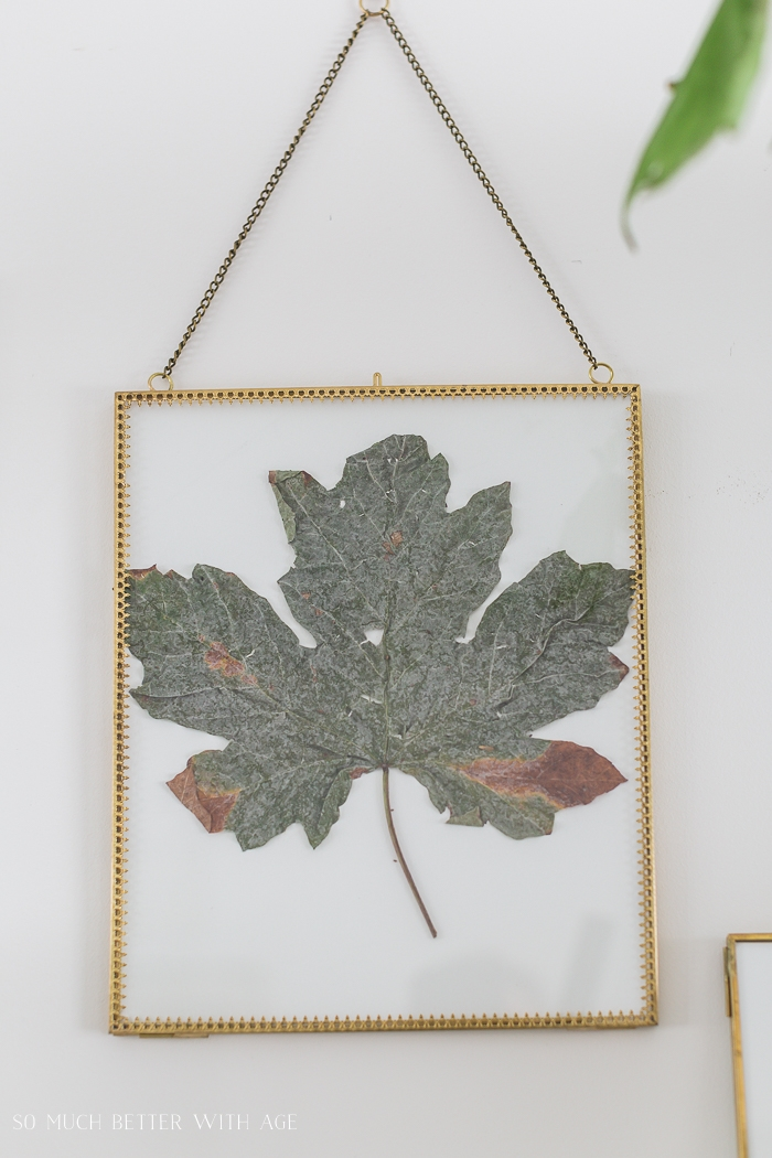 Green maple leaf in gold frame on hanging on wall.