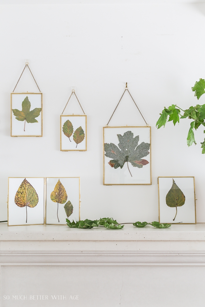 Pressed leaves in gold frames on wall.