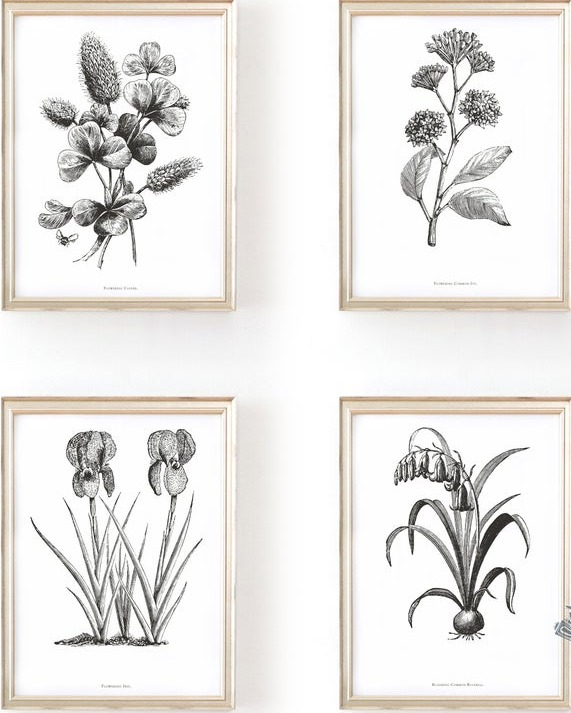 Botanical Engraving at Commonwealth Prints.