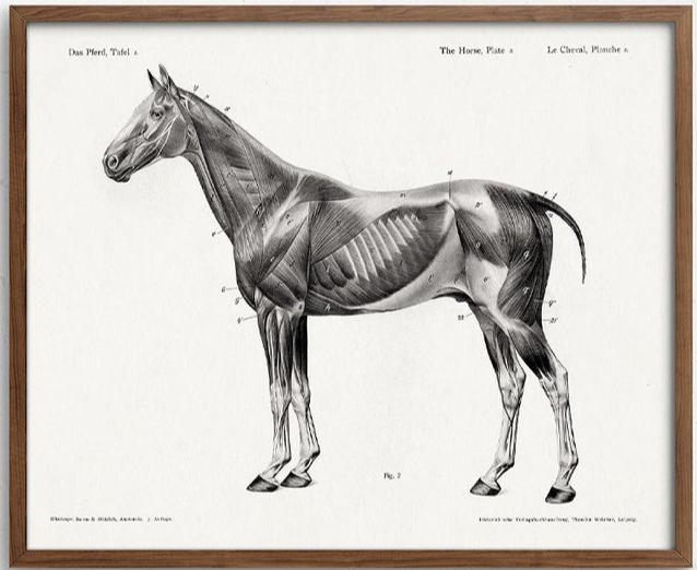 Retrofield - horse anatomy print.