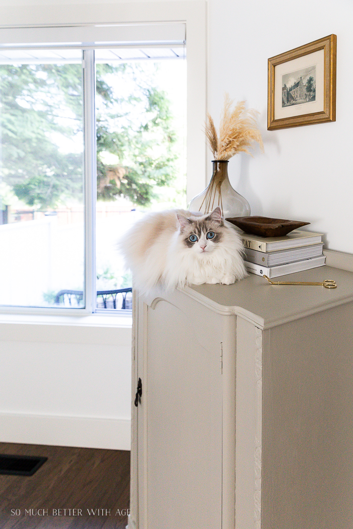 White ragdoll cat with blue eyes sitting on cabinet by a window.