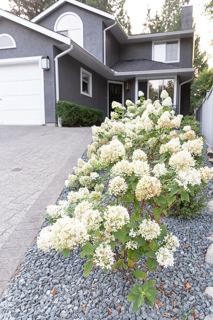 Limelight and bobo hydrangeas in front of house.