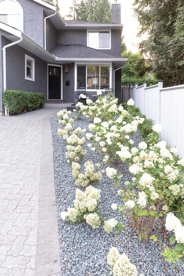 Limelight and bobo hydrangeas with crushed rock in front yard of grey house.
